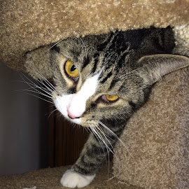 Lloyd by Jackie Schoenecker - Animals - Cats Playing ( kitty kitty condo )