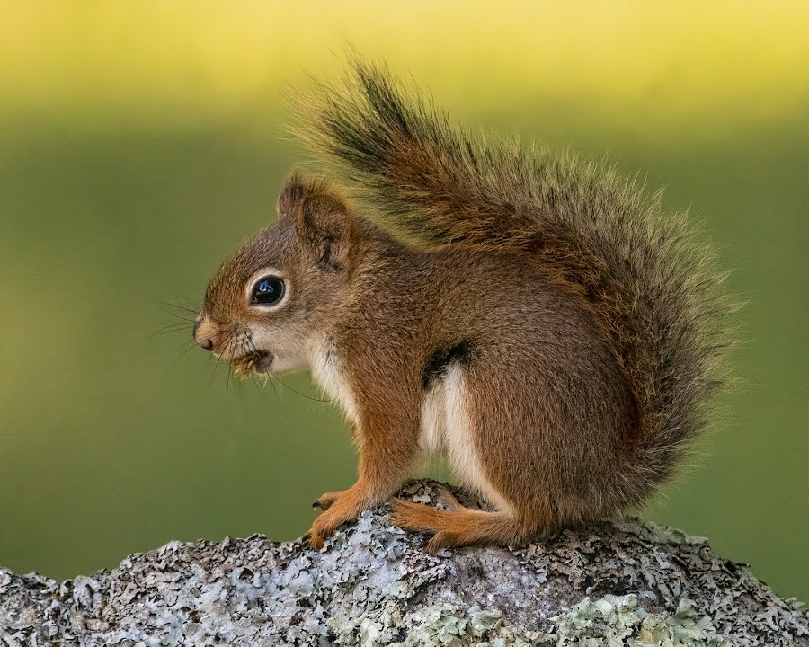 Red Squirrel by Carl Albro - Animals Other Mammals ( squirrel, mammal, rodent, wildlife )