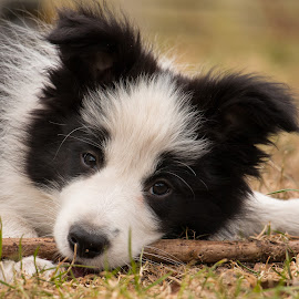 Zohran by Marjan Smit - Animals - Dogs Portraits ( border, cute dog, bordercollie, collie, black and white, dog, cute )