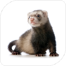 Ferret Sounds