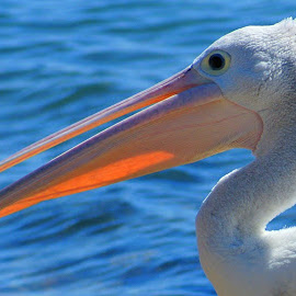 Pelican by Tim Bennett - Animals Birds ( sunshine coast, sea bird, queensland, australia, pelican )