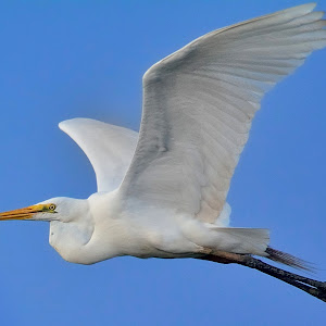 June 11 great egret in late afternoon.jpg