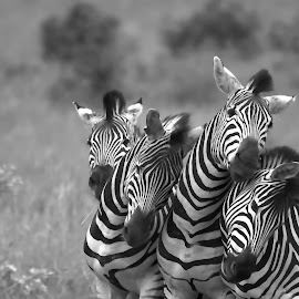 Stripes by John Filmalter - Animals Other Mammals ( animals, black and white, wildlife, zebra, africa,  )