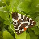 Garden tiger moth / Медведица-кайя