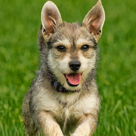 Happy Max by Morgan Baumgartner - Animals - Dogs Running