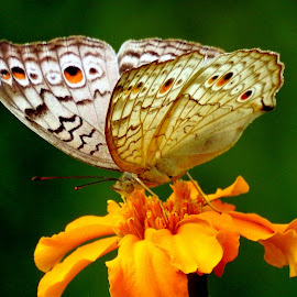 Butterfly  by Asif Bora - Animals Insects & Spiders