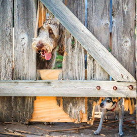 Bad Dogs by Kathy Suttles - Animals - Dogs Portraits