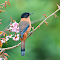 Rufous-Sibia_DSC_4940.jpg