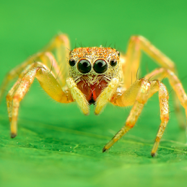 Jumping Spider #73 by Dave Lerio - Animals Insects & Spiders (  )