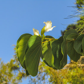 Tree lilly by Mark Luyt - Flowers Flowers in the Wild ( blue sky, pine tree, nature, vine, lilly )