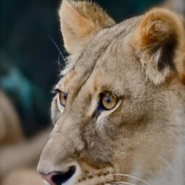 Momma Lion on Alert by Laura Luchsinger - Animals Lions, Tigers & Big Cats