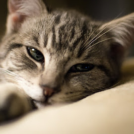 SLEEPY GIRL by Melanie Pond - Animals - Cats Kittens ( cats, cat, kitten, cat portrait, catsofinstagram, kittens, feline, kitty, domestic cat )