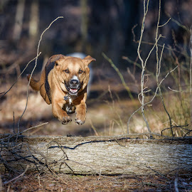 AirTime Bud by John Sinclair - Animals - Dogs Running ( dogs, dogs running, german shepherd, running, woods )