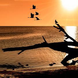 Silhouettes at Lake King by Jan Murphy - Digital Art Places ( orange, driftwood, sunset, australia, gippsland, lake, birds )