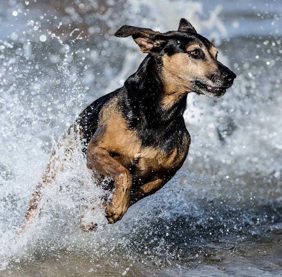 by Harold Blum - Animals - Dogs Running ( dogs, spray, color, animals in motion, lake, beach, pwc76, motion, animal )