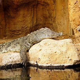 Crocodile by Anita Berghoef - Animals Reptiles ( zoo, crocodile, sleeping, reptile, animal )