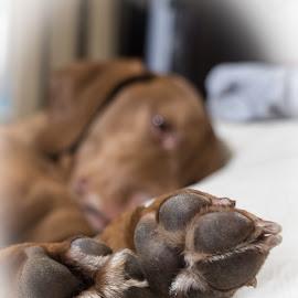Dexmaster by Krista Allen - Animals - Dogs Portraits ( dexter, feet, vizsla, sleeping, bedroom )
