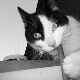 BLACK AND WHITE PORTRAITS by Redski Pictures - Animals - Cats Portraits ( playing, cat, black and white, animal )