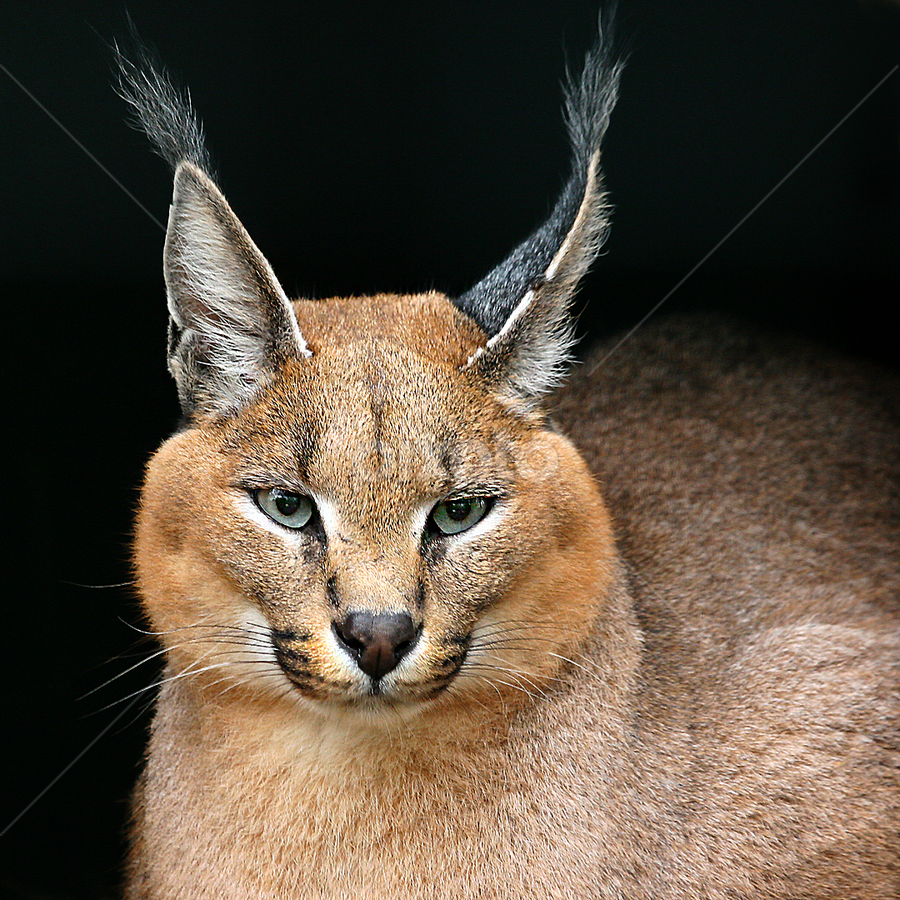 Caracal by Gérard CHATENET - Animals Lions, Tigers & Big Cats (  )