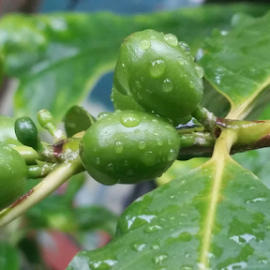 { Coffee Beans after the Rain ~ 4 August }  by Jeffrey Lee - Nature Up Close Gardens & Produce ( { coffee beans after the rain ~ 4 august } )