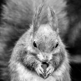 Squirrel by Garry Chisholm - Black & White Animals ( squirrel, nature, mammal, rodent, garry chisholm )