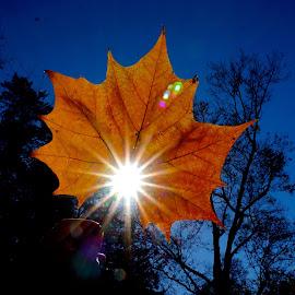 Sunlit Leaf by Dawn Friend - Nature Up Close Leaves & Grasses ( sunlight, fall, leaf,  )