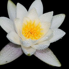 beautiful white water lilly by LADOCKi Elvira - Flowers Single Flower ( floral, pond, flowers, plants, garden, water, lilly )