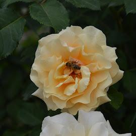 macro insect on flower by Drago Ilisinovic - Novices Only Macro