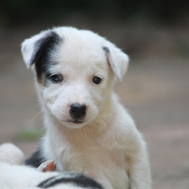 pew! by Vivek Chethan Muliya - Animals - Dogs Puppies ( animals, dogs, white, puppy, black patch,  )