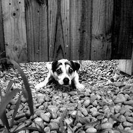 Russell and the Gate by Phillip Flores - Animals - Dogs Portraits ( dogs, black and white, pets, wooden-gate, pebbles )