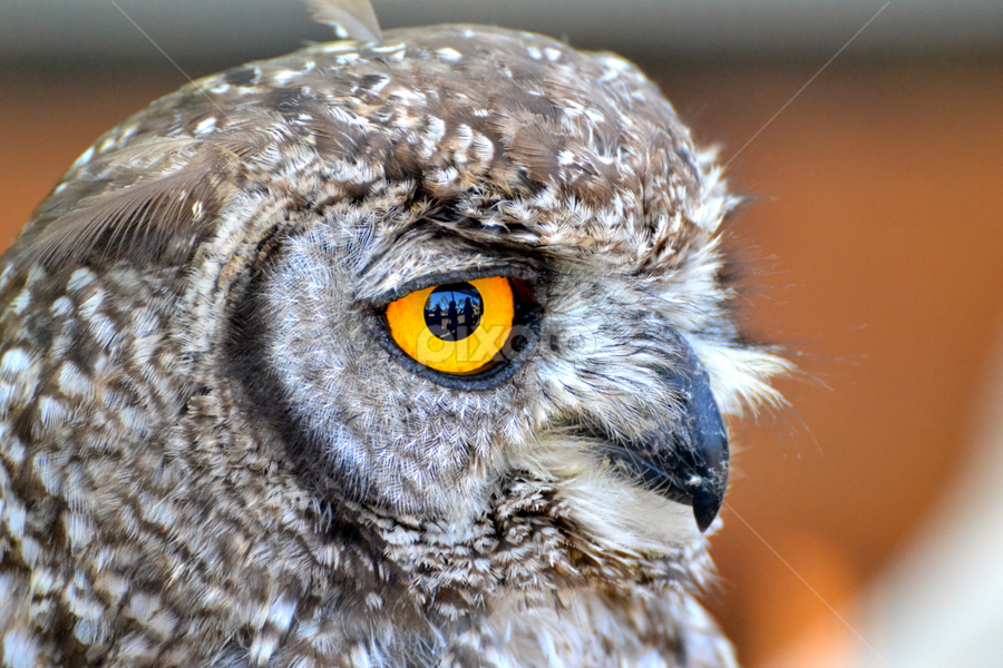 Close-up by Mauritz Janeke - Animals Birds ( owl, wildlife, birds, portrait, close-up, eyes,  )
