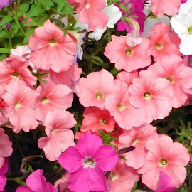 PINKS by Cynthia Dodd - Novices Only Flowers & Plants ( nature, colorful, plants, pink, flowers )