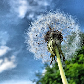Dandelion by Agim Sherifi - Instagram & Mobile Android