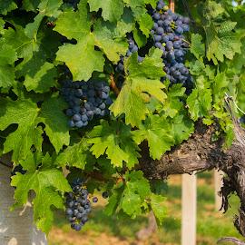 Grapes by Mateja Proučil - Nature Up Close Gardens & Produce