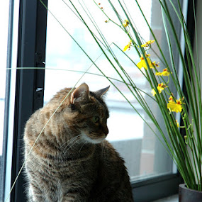 Sierra in the window by Rob Donner - Animals - Cats Portraits ( cats, tabby )