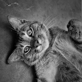 by Mohd Afiq - Animals - Cats Portraits