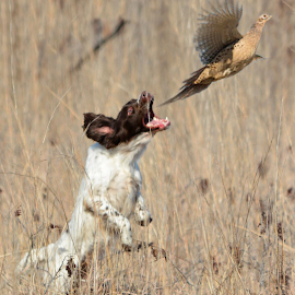 Bird Dog Amy by Clinton White - Animals - Dogs Running ( field, pheasant, amy, jump, bird dog )