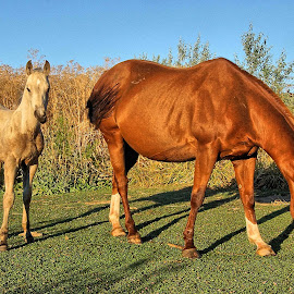 Morning sun by Gaylord Mink - Animals Horses ( grazing, horses, colt, sun )
