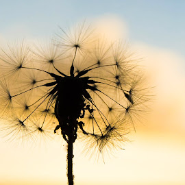 Dandelion Silhouette by Cindy Bester - Nature Up Close Other plants ( clouds, dandelion, silhouette, nature up close, garden )
