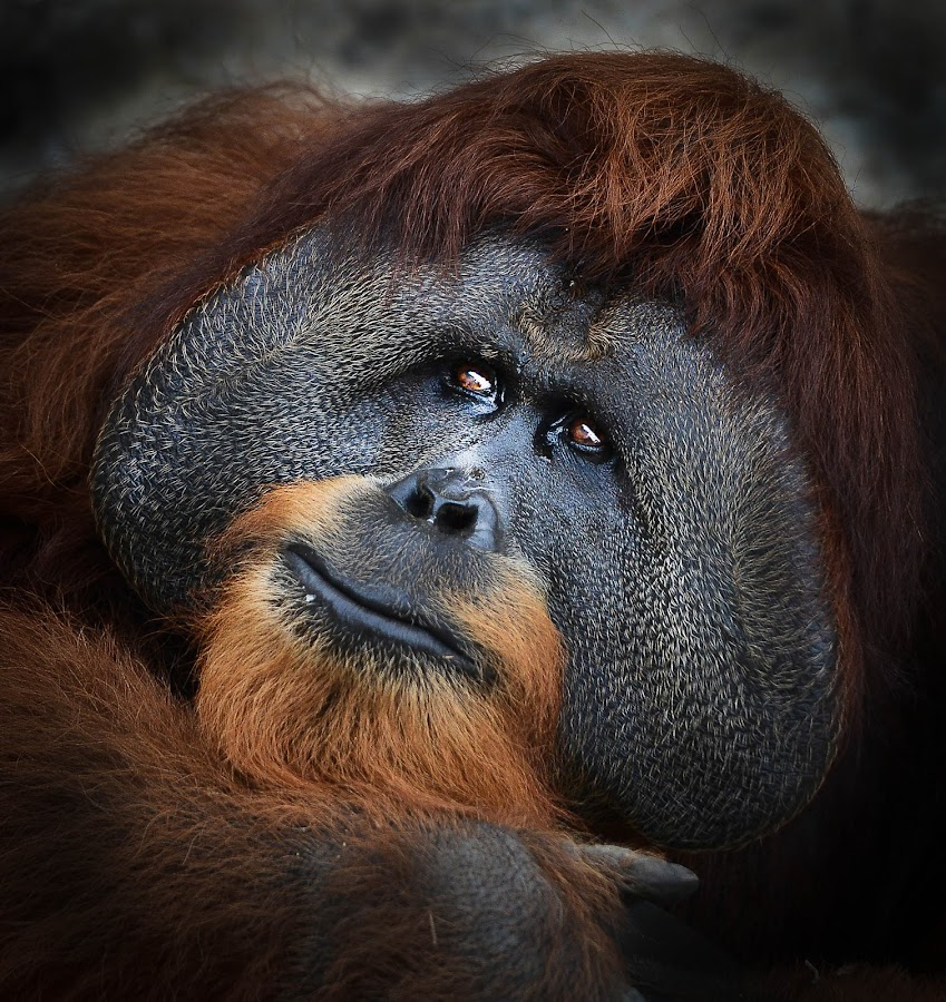 Orang Utan by Jacky S - Animals Other Mammals