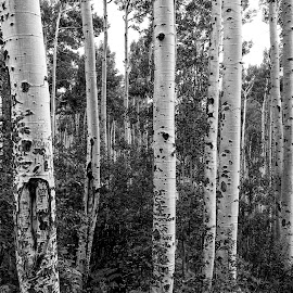 Aspens Colorado by Gayle Mittan - Nature Up Close Trees & Bushes ( nature, tree, black and white, trees, forest, landscape, aspen )