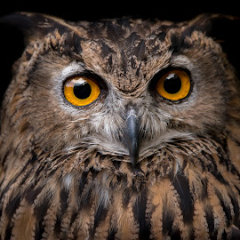 by Juan Diedericks - Animals Birds ( owl,  )