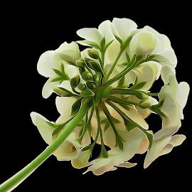 White Geranium Cranesbill Flower Black Background by Robin Amaral - Digital Art Things ( black background, geranium, cranesbill, white, nature close up, stem, image focus technique, flower,  )