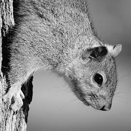 Eastern Gray Squirrel by Krishna Murukutla - Black & White Animals ( animals, eastern gray squirrel, wildlife, closeup, portrait )
