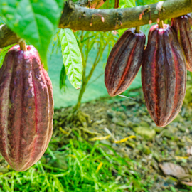 Cocoa Tree by Laurie Crosson - Nature Up Close Gardens & Produce ( chocolate tree, tree, costa rica, cocoa )