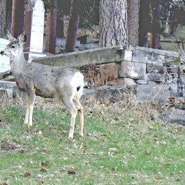 Safety in the Cemetery by Vicki Strickland - Novices Only Wildlife ( black hills sd, lead sd, cemetery, wildlife, deer )
