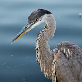Blue Heron by Yves Daigle - Animals Birds ( blue, heron )