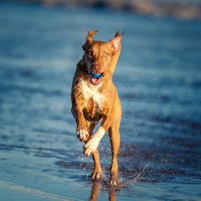 Jumping for joy by Malcolm Hare - Animals - Dogs Running (  )