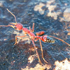 Giant Red Bull Ant