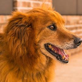 Rusty by Terri Carr - Animals - Dogs Portraits ( canine, orange, pet, dog, domestic, animal )